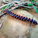 Red Borneo Millipede