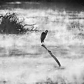 by Shelly Himmelberg - Novices Only Wildlife ( bird, water, meramec, stream, missouri, fog, black and white, leasburg, fishing, crane )