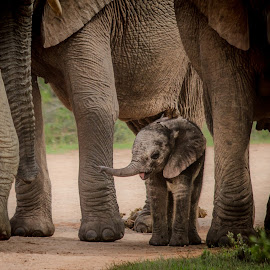 Under cover by Wim Moons - Animals Other Mammals ( elephant, south africa, wildlife, baby, africa )