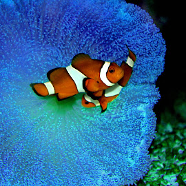 Clown Fish by Arunima Malik - Animals Fish (  )