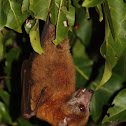 Uknown Fruitbat species