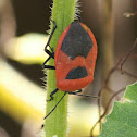 Red Pumpkin Bug