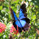 Blue Ulysses Butterfly or Blue Mountain Butterfly