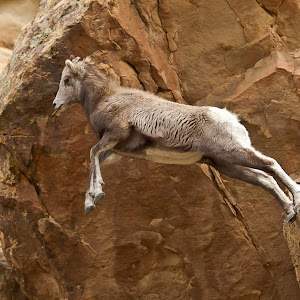 Big Horn Sheep Jump-0732AA.jpg