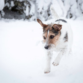 What is that in the Snow by Shawn Klawitter - Animals - Dogs Playing ( playing, animals, winter, snow, dog )