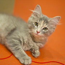 Chloe at the Shelter... by Martha Pope - Animals - Cats Kittens ( cat, kitten, shelter, fuzzy, adopt, rescue, grey )