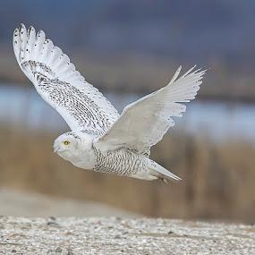 Snowy Owl in flight by Lynda Blair - Animals Birds ( owlflying, owl, beach, snowy owl )