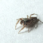 Jumping Spider
