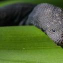 Little Wart Snake