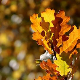 Autumn Bokeh by Chrissie Barrow - Nature Up Close Leaves & Grasses ( orange, autumn, oak, brown, yellow, sunlight, leaves, bokeh )