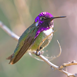 Perched Hummingbird by Dean Mayo - Animals Birds ( perched, nature, purple, hummingbird, male, costa, hummer )