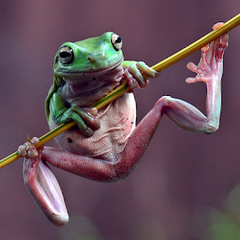 Hanging by Sigit Purnomo - Animals Amphibians