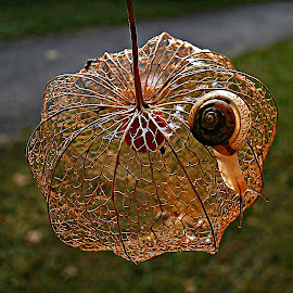 Leaving Lacy Home by Marija Jilek - Nature Up Close Other Natural Objects ( other objects, lace, nature, plants, physalis alkekengy, snail, red lantern )