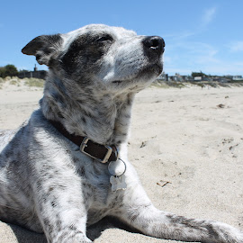 Odie Girl at the Beach by Ryan Duffy - Animals - Dogs Portraits ( beach bitch, portrait of dog, blue sky, dog on beach, beach dog, beach, dog )