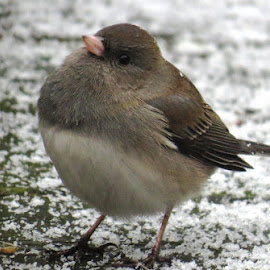 Curious Junco by Erika  Kiley - Novices Only Wildlife ( bird, snow, junco, round, deck )