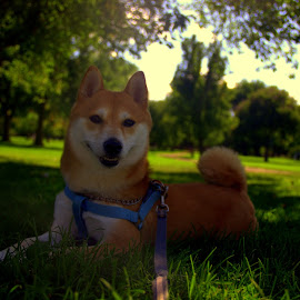 Keeva in the Park by Katie Stapleton - Animals - Dogs Portraits ( laying down, red fur, shiba inu, city park, portrait )