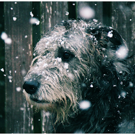 Fenrir by Barbora Irish Wolfhound - Animals - Dogs Portraits
