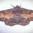 Zale Moth