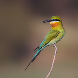 Blue-tailed Bee-eater by Subash Rao - Animals Birds ( naguvenahalli, mysore, blue-tailed bee-eater )