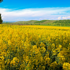 colza field by Ghimpe Cristian - Landscapes Prairies, Meadows & Fields