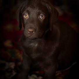 Axel by Borovskoy Alexey - Animals - Dogs Portraits ( retriever, flash, вспышка, д7100, ретривер, никон, labrador, 50d, portrait, eyes, лабрадор, глаза, axel, d7100, щенок, brown, puppy, 50д, портрет, nikon, коричневый, аксель,  )