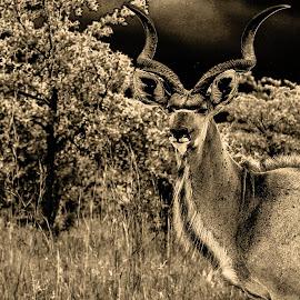 magestic by Zibbies Du Toit - Animals Other ( b&w, nature, buck, wildlife, dark contrast,  )