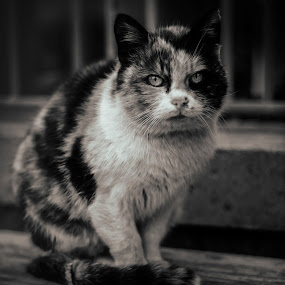 Bulgarian cat  by Ивайло Цветанов - Black & White Animals ( cats, cat, black and white, life cat, animals cat, bulgaria )