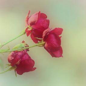 succumb by Megan Donovan - Flowers Flowers in the Wild ( red, nature, megan donovan, outdoor, bloom, nikon, garden, light, flower )