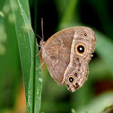 Eyed bush brown