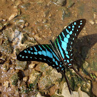 Common Swordtail