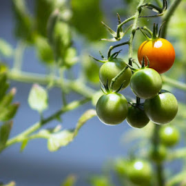Tomatoes by Trent Eades - Nature Up Close Gardens & Produce