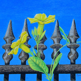Nothing But Blue Skies by Lew Davis - Drawing All Drawing ( color pencil, yellow, lew davis, drawing, drawings, blue sky, sky, vines, flowers, color pencil drawings, flower, sketch, mandevilla, blooms, vine, art, bloom, blossoms, gate, yellow flowers, fence, old fence, blue, sketches, iron gate )