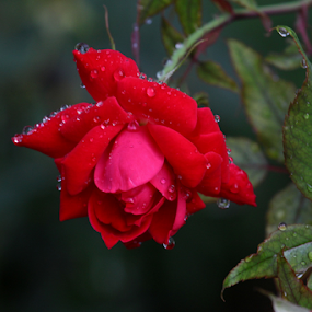 Raindrops and rose by Ivy Luna - Flowers Flowers in the Wild ( #red rose, #flower power, #rose in the garden, #rose and raindrops, #red, #raindrops and roses, #flowers in the wild,  )