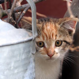 Shy Kitten by Trina Sexsmith - Animals - Cats Kittens (  )