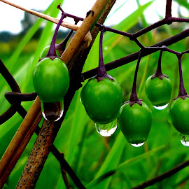 Green drops 5 by Gordana Cajner - Nature Up Close Natural Waterdrops (  )