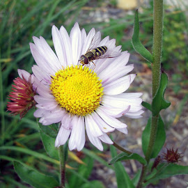 The Daisy by Cassie Karanasos - Nature Up Close Gardens & Produce ( bee, daisy, flower )