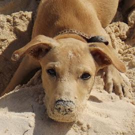 Puppy on the Beach by Sherri Reyna - Animals - Dogs Puppies ( sand, animals, pets, puppy, beach, dog )