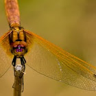 Lyriothemis pachygastra (female)