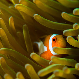 You found me :) by Nelson Homer Talag - Animals Fish ( clownfish, nemo )