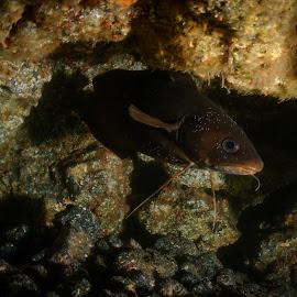 The forksbeard's cove. by Alexandre Ribeiro Dos Santos - Animals Fish ( phycis phycis, pico island, atlantic ocean, açores, underwater photography, portugal, forkbeard, azores )