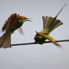 fighting of bee eaters by Jayanta Pramanick - Animals Birds