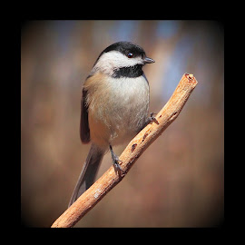 Black Capped Chickadee by Paul Mays - Animals Birds ( bird, nature, chickadee, birds, kentucky )