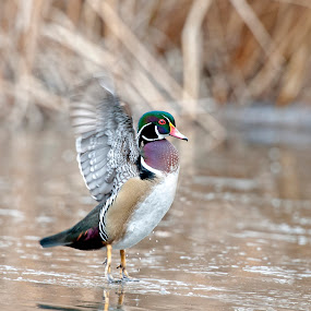 wood duck flight  by Cody Hoagland - Animals Birds ( wood, duck )