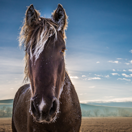 Skywalker by Richard Horst - Animals Horses ( winter, montana, beautiful, horse )