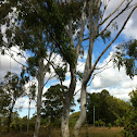Queensland blue gum