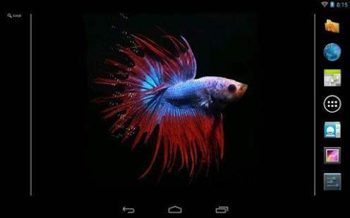 Download android app betta fish live wallpaper for for Siamese fighting fish crossword