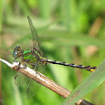 Odonata (Dragonflies) of the Southeast US