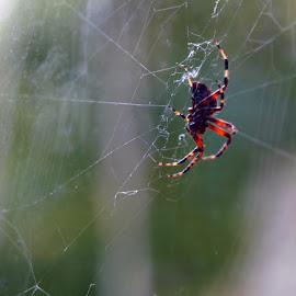 by Diane Plevelich - Nature Up Close Webs ( cx )