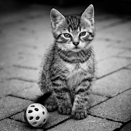 Cat by Tomáš Paule - Animals - Cats Kittens ( cat, bw, baby, young, animal )