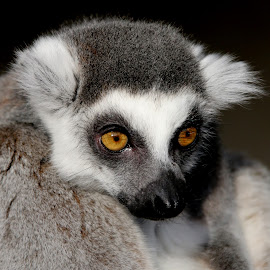 Lemur by Ralph Harvey - Animals Other Mammals ( noahs ark zoo, wildlife, lemur, ralph harvey, animal )
